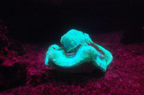 corallo fluorescente
