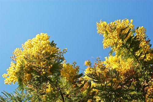 mimosa nel sole
