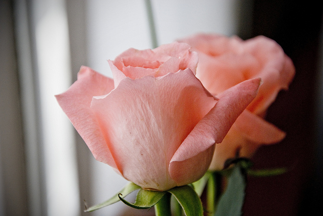 rosa rosae